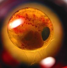 Embryo1