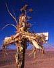 Desertpastorcross_1